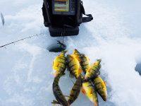 Lake Simcoe Perch
